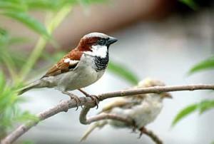 indian-sparrow