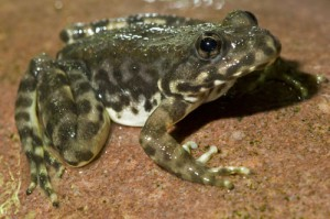 mountain-yellow-frog-500