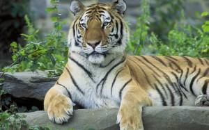 siberian-tiger-resting-animal-hd-wallpaper-2880x1800-8054